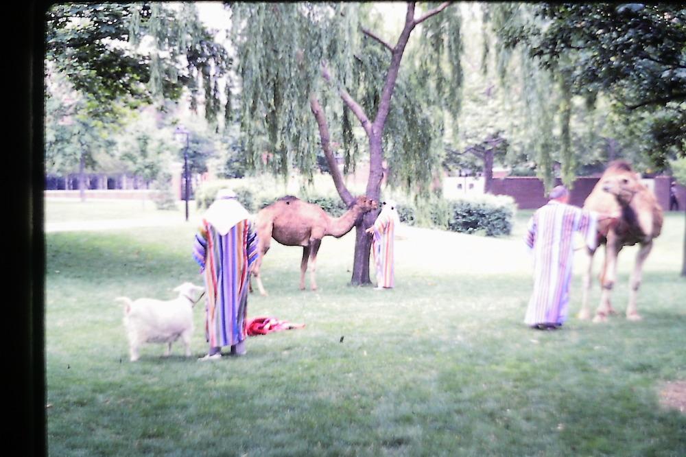 Independent Park Camels